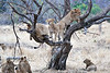 Older_Lion_Cubs_Tree_MalaMala_2019_South_Africa_0013