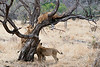 Older_Lion_Cubs_Tree_MalaMala_2019_South_Africa_0002