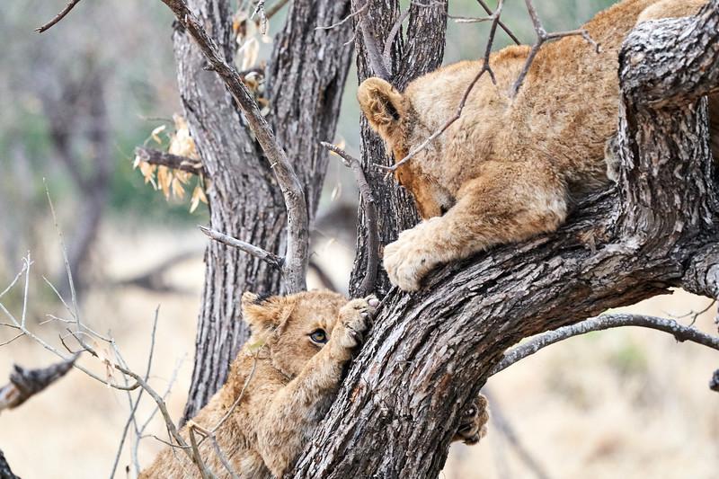 Older_Lion_Cubs_Tree_MalaMala_2019_South_Africa_0001