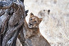 Older_Lion_Cubs_Tree_MalaMala_2019_South_Africa_0007