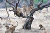Older_Lion_Cubs_Tree_MalaMala_2019_South_Africa_0012