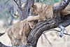 Older_Lion_Cubs_Tree_MalaMala_2019_South_Africa_0006