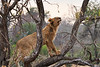 Older_Lion_Cubs_Tree_MalaMala_2019_South_Africa_0016