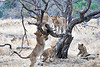 Older_Lion_Cubs_Tree_MalaMala_2019_South_Africa_0011