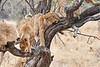 Older_Lion_Cubs_Tree_MalaMala_2019_South_Africa_0018