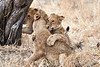 Older_Lion_Cubs_Tree_MalaMala_2019_South_Africa_0003