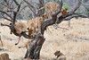 Older_Lion_Cubs_Tree_MalaMala_2019_South_Africa_0019