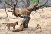 Older_Lion_Cubs_Tree_MalaMala_2019_South_Africa_0015