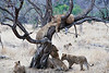 Older_Lion_Cubs_Tree_MalaMala_2019_South_Africa_0008