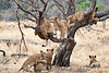 Older_Lion_Cubs_Tree_MalaMala_2019_South_Africa_0014