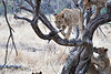 Older_Lion_Cubs_Tree_MalaMala_2019_South_Africa_0010