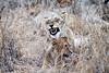 Lion_Yawn_MalaMala_2019_South_Africa_0007