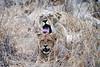 Lion_Yawn_MalaMala_2019_South_Africa_0005