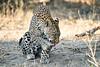 Leopard_MalaMala_2019_South_Africa_0132