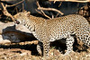 Leopard_MalaMala_2019_South_Africa_0123