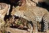Leopard_MalaMala_2019_South_Africa_0122