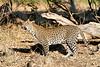 Leopard_MalaMala_2019_South_Africa_0124
