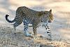 Leopard_MalaMala_2019_South_Africa_0115