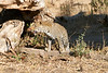 Leopard_MalaMala_2019_South_Africa_0121