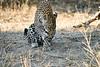 Leopard_MalaMala_2019_South_Africa_0130