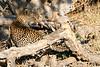 Leopard_MalaMala_2019_South_Africa_0125