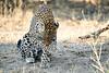 Leopard_MalaMala_2019_South_Africa_0131
