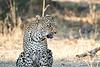 Leopard_MalaMala_2019_South_Africa_0134