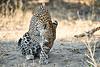 Leopard_MalaMala_2019_South_Africa_0133