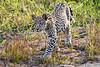 Leopard_Cubs_MalaMala_2019_South_Africa_0035