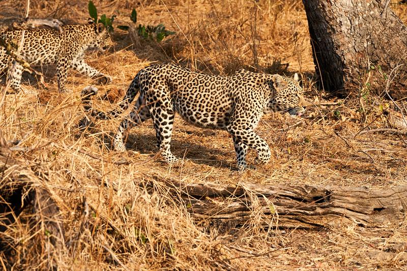 Leopard_Cubs_MalaMala_2019_South_Africa_0001