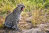 Leopard_Cubs_MalaMala_2019_South_Africa_0041