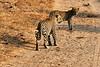 Leopard_Cubs_MalaMala_2019_South_Africa_0003