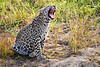 Leopard_Cubs_MalaMala_2019_South_Africa_0040
