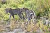 Leopard_Cubs_MalaMala_2019_South_Africa_0043