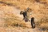 Leopard_Cubs_MalaMala_2019_South_Africa_0005