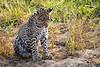 Leopard_Cubs_MalaMala_2019_South_Africa_0037
