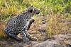 Leopard_Cubs_MalaMala_2019_South_Africa_0038