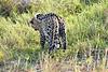 Leopard_Cubs_MalaMala_2019_South_Africa_0044