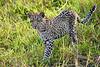 Leopard_Cubs_MalaMala_2019_South_Africa_0033