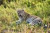 Leopard_Cubs_MalaMala_2019_South_Africa_0047