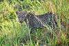 Leopard_Cubs_MalaMala_2019_South_Africa_0032