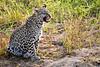 Leopard_Cubs_MalaMala_2019_South_Africa_0042