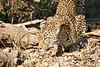 Leopard_Eating_MalaMala_2019_South_Africa_0018