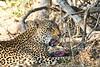Leopard_Eating_MalaMala_2019_South_Africa_0020