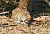 Leopard_Eating_MalaMala_2019_South_Africa_0004