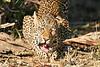 Leopard_Eating_MalaMala_2019_South_Africa_0014