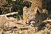 Leopard_Eating_MalaMala_2019_South_Africa_0015