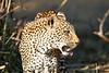 Leopard_Eating_MalaMala_2019_South_Africa_0016
