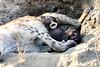 Hyena_Cub_MalaMala_2019_South_Africa_0003
