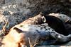 Hyena_Cub_MalaMala_2019_South_Africa_0004